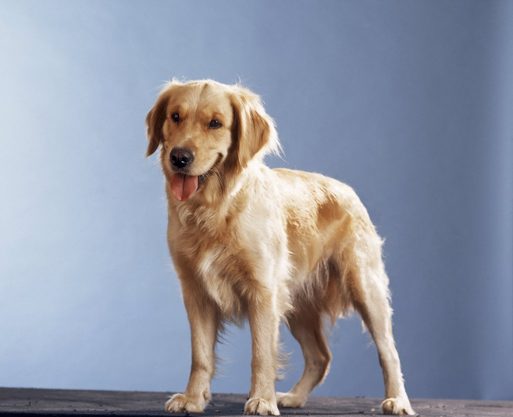 Stock Photo: 4279-42562 cut-out : dog standing