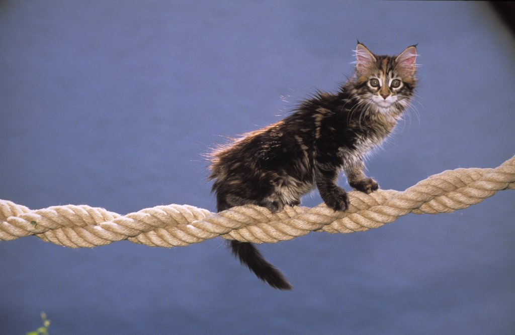 Stock Photo: 4279-42564 young Maine Coon on a rope