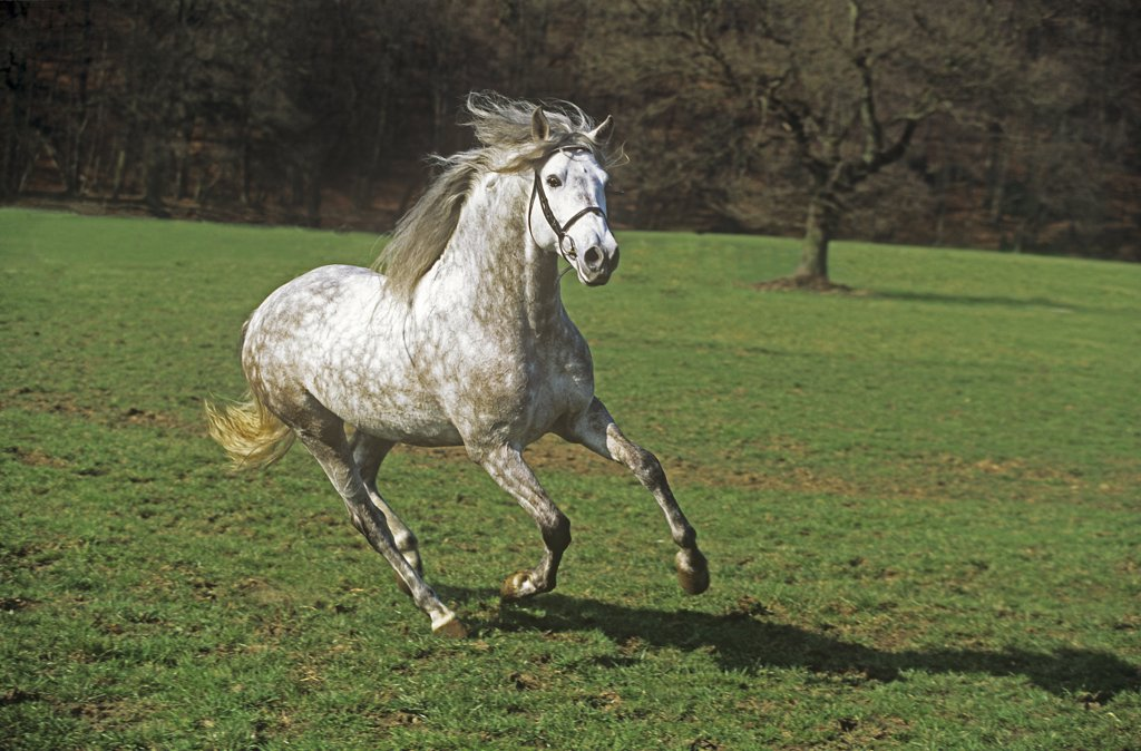 Andalusian horse - galloping on meadow : Stock Photo