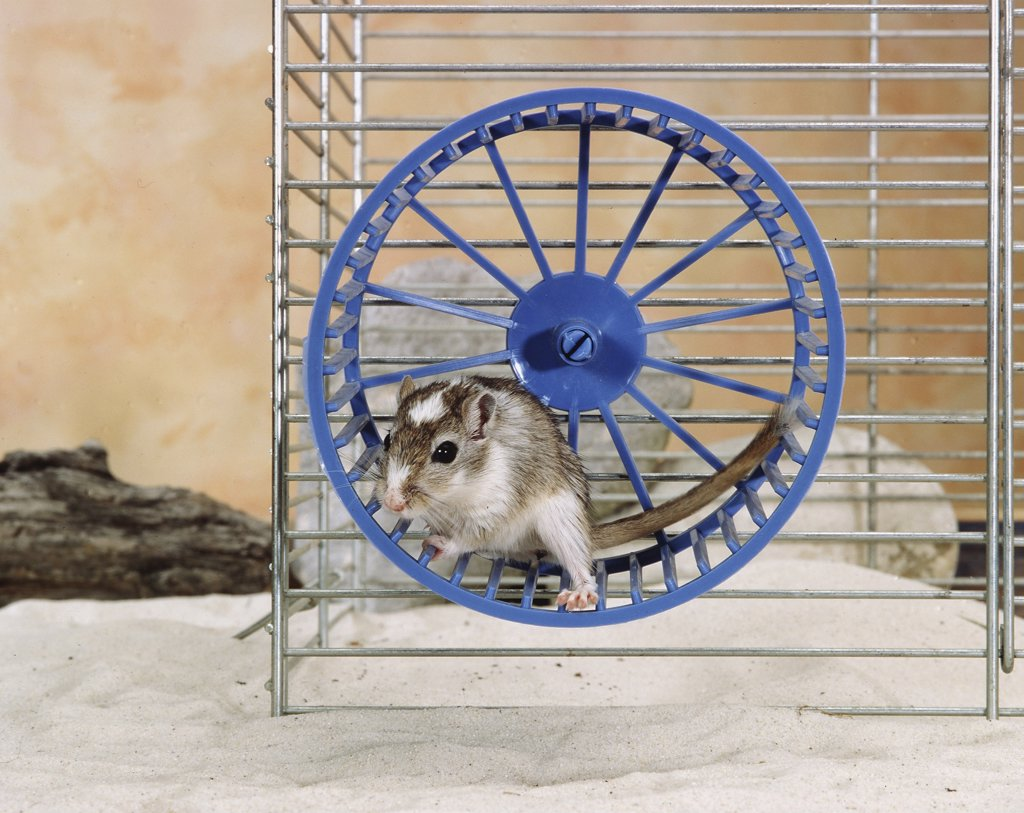 northern pygmy gerbil, Gerbillus spp. : Stock Photo