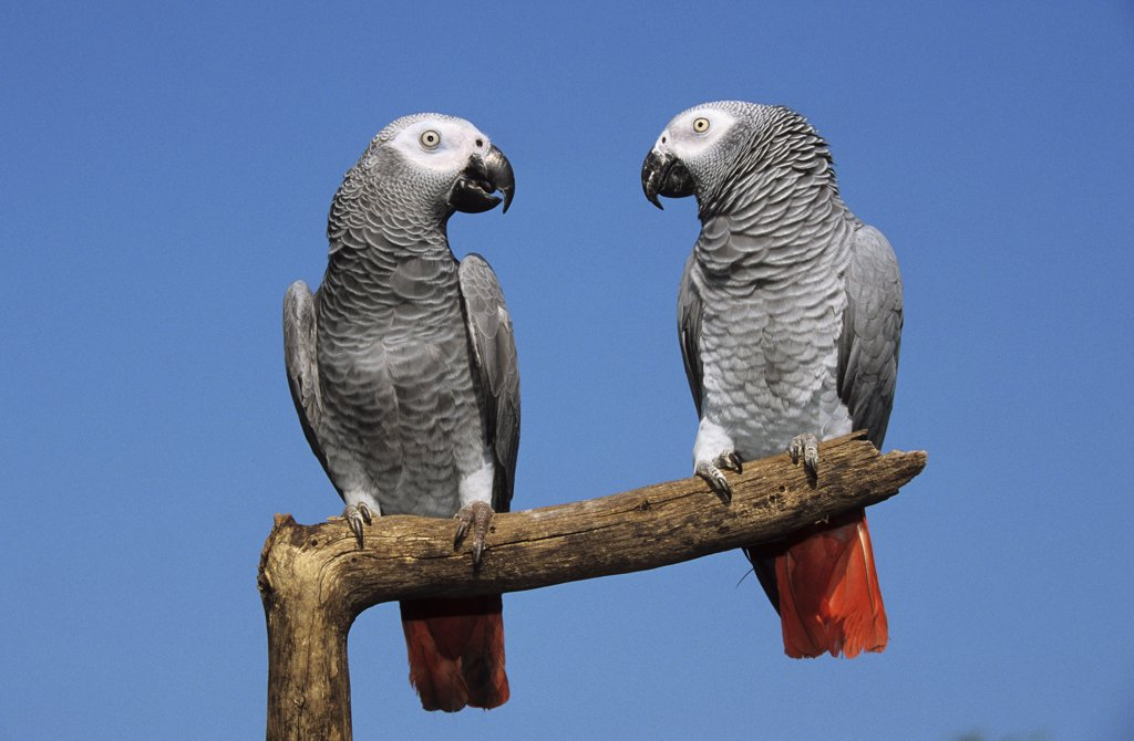 Stock Photo: 4279-42787 Psittacus erithacus, grey parrot