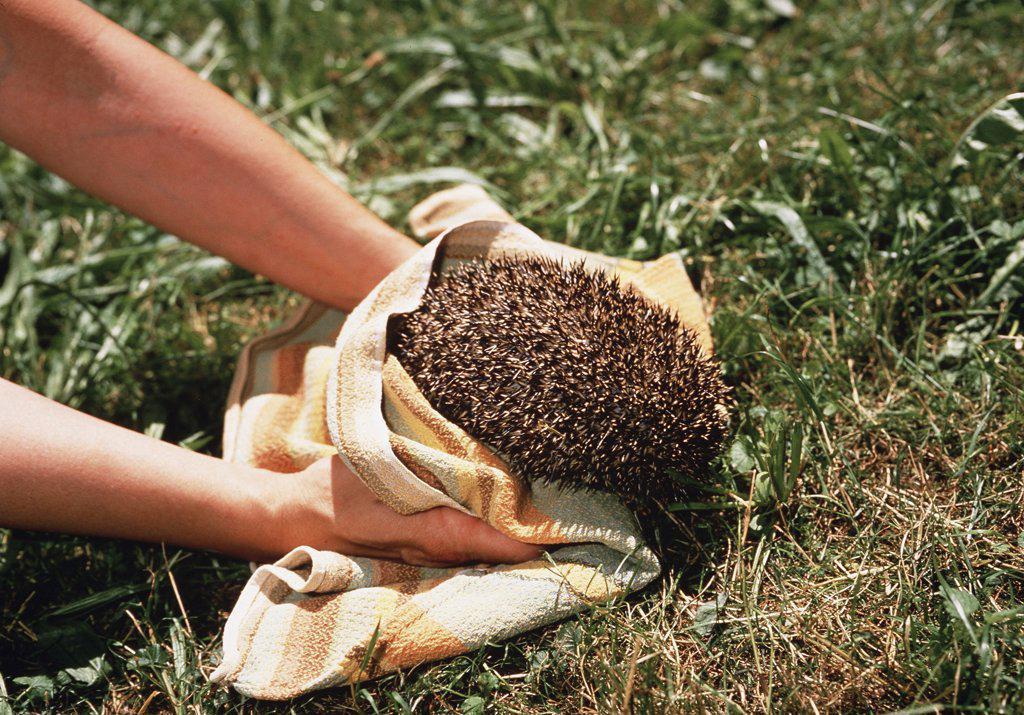 hedgehog, Erinaceidae : Stock Photo