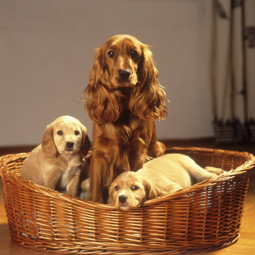Stock Photo: 4279-42869 Cocker Spaniel with two half breed puppies in basket