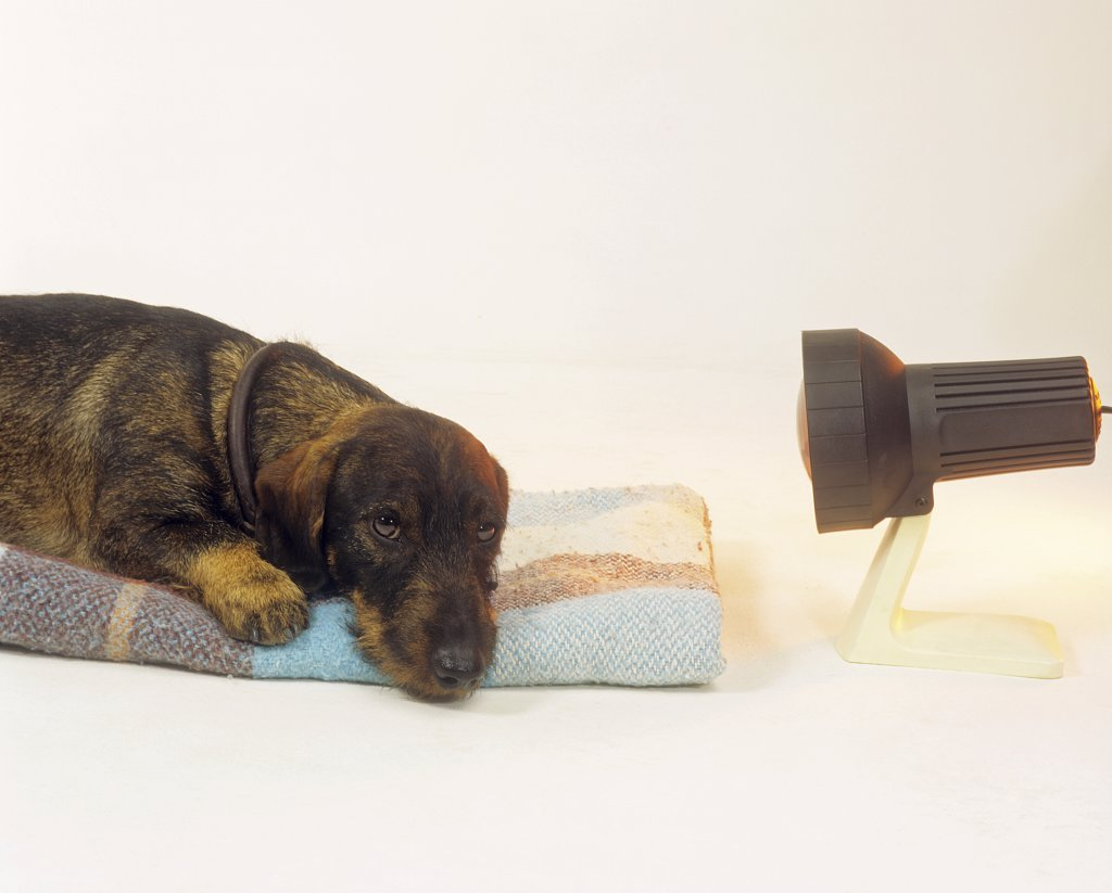wire-haired dachshund with infra red lamp : Stock Photo