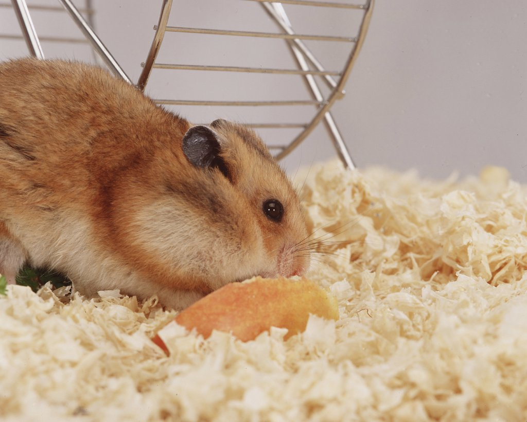 mesocricetus auratus, golden hamster : Stock Photo