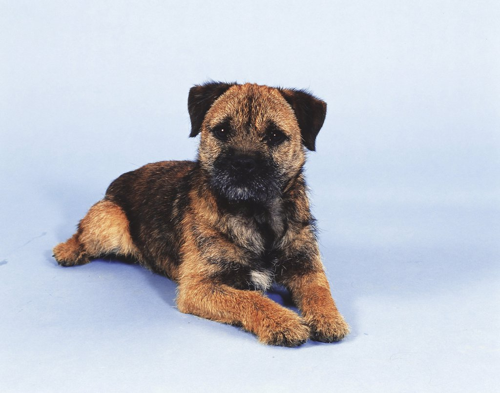 Border Terrier : Stock Photo