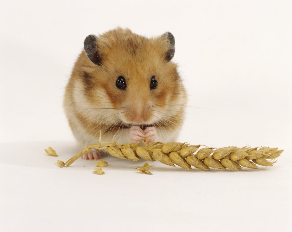 golden hamster : Stock Photo