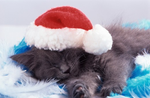 Stock Photo: 4279-43468 young sleeping cat with Santa Clause cap