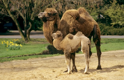 camelus bactrianus, bactrian camel, two-humped camel : Stock Photo