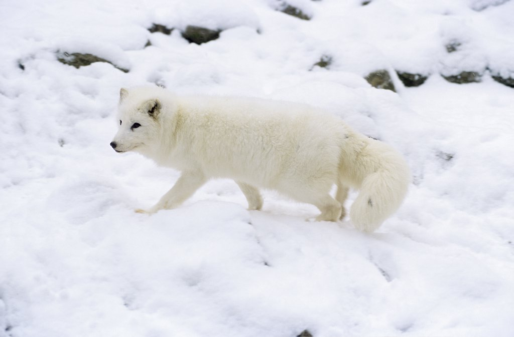 Arctic fox - walking in snow, Alopex lagopus : Stock Photo