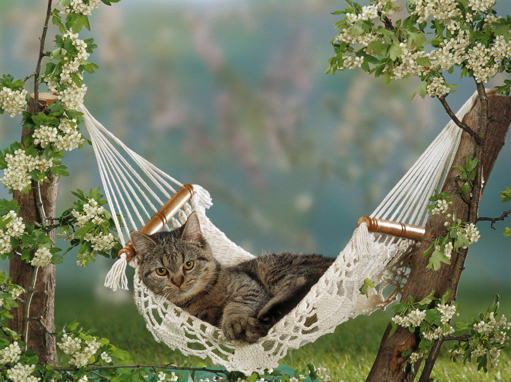 domestic cat - lying in hammock : Stock Photo