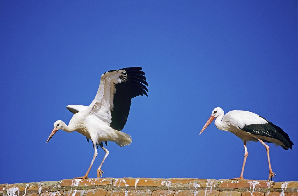 Stock Photo: 4279-44083 ciconia c., white stork
