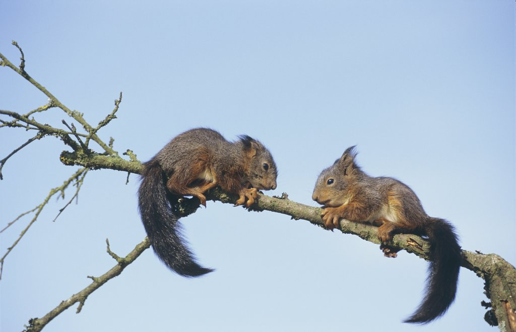Stock Photo: 4279-44119 sciurus vulgaris, Squirrels - two, young ones on a bough -