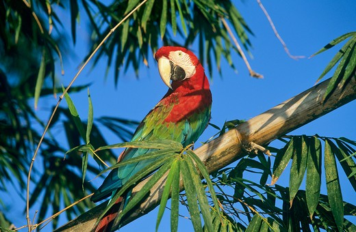 Stock Photo: 4279-44243 ara chloroptera, green-winged macaw