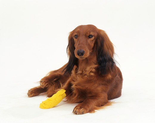 Stock Photo: 4279-44306 long-haired dachshund with injured paw