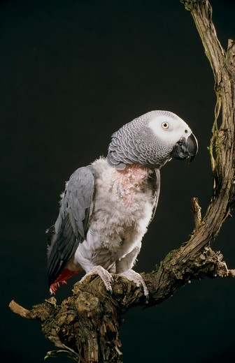 grey parrot : Stock Photo