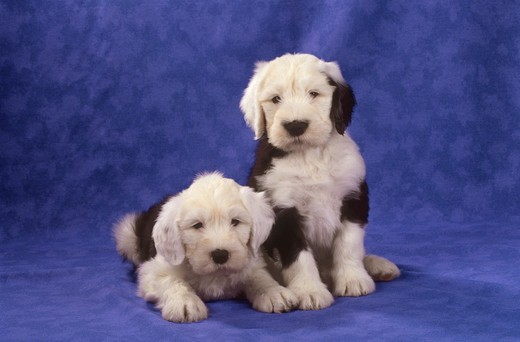 Stock Photo: 4279-44661 Bobtail - two puppies