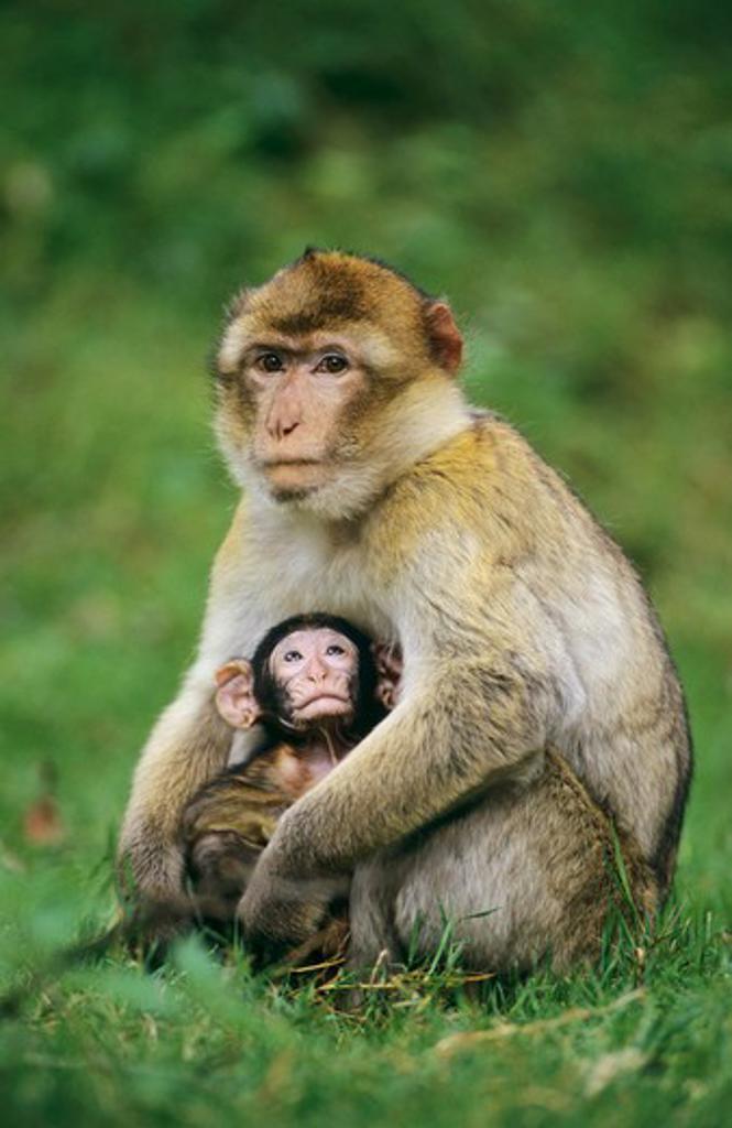 Stock Photo: 4279-44714 Macaca sylvanus, barbary ape, barbary macaque