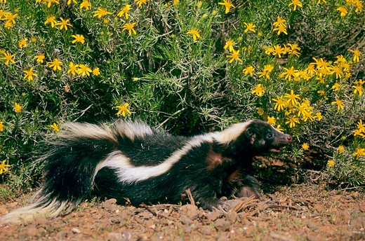 Stock Photo: 4279-44832 striped skunk, Mephitis mephitis