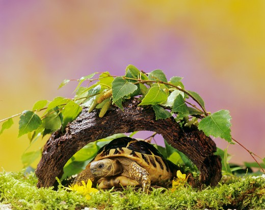 Stock Photo: 4279-45081 testudo hermanni, Hermann's tortoise, Greek tortoise
