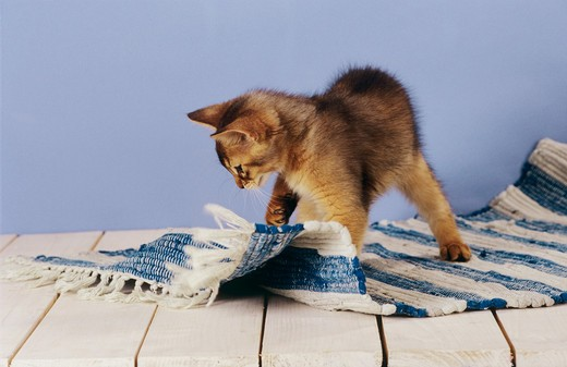 young domestic cat scratching carpet - scratching post missing : Stock Photo