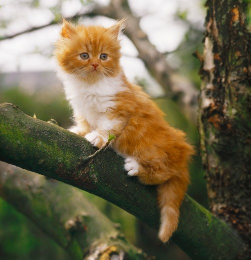 Stock Photo: 4279-4532 young Persian kitten on branch