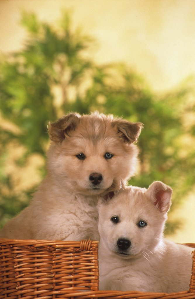 two Husky puppys in basket - color of eyes is different : Stock Photo