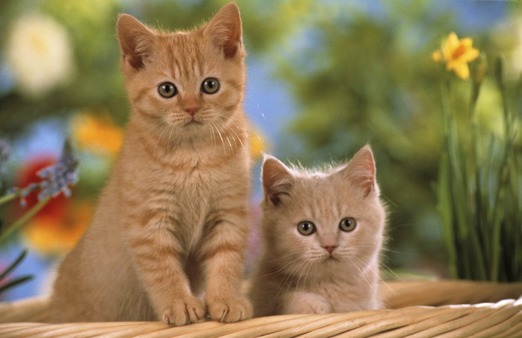 Stock Photo: 4279-45389 two young British Shorthair Cats in basket