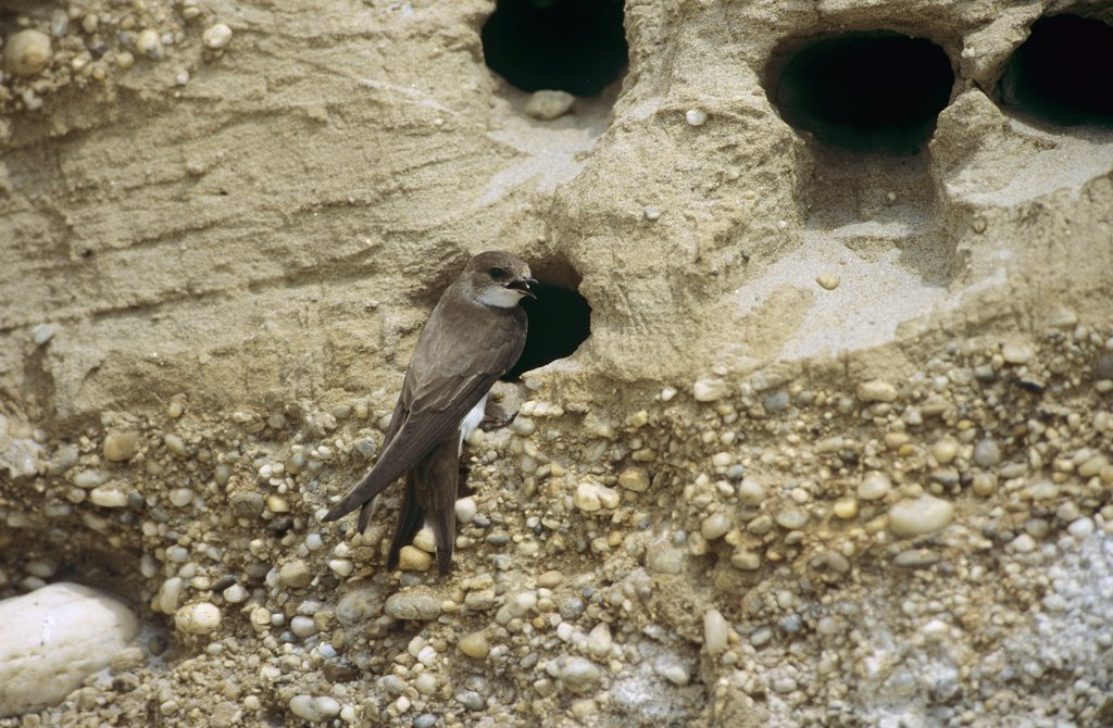 Stock Photo: 4279-45524 riparia riparia, sand martin