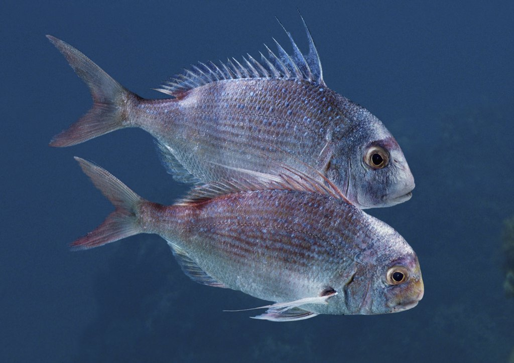 sparus auratus, gilthead seabream : Stock Photo