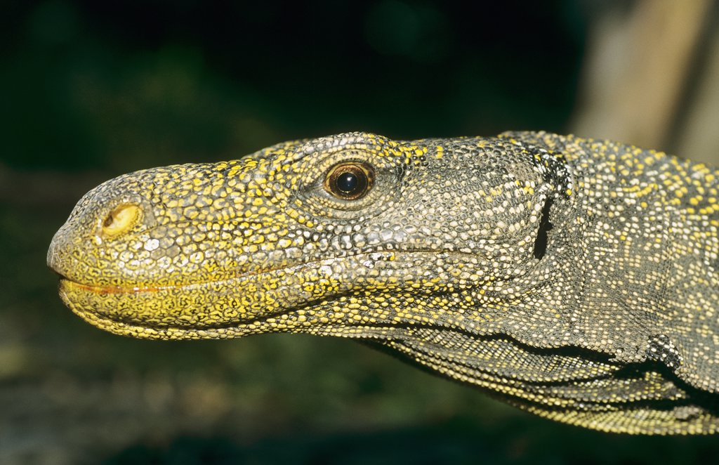 Stock Photo: 4279-45624 varanus salvator, common Asiatic monitor