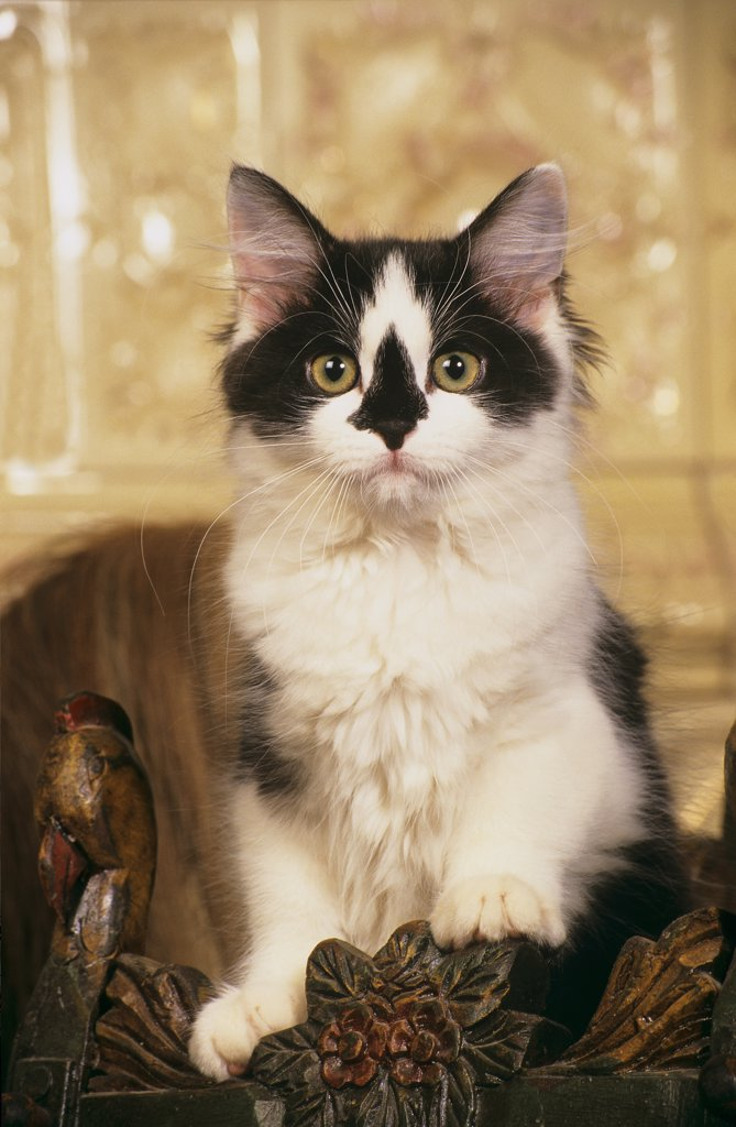 Stock Photo: 4279-45839 young black-white cat - kitten