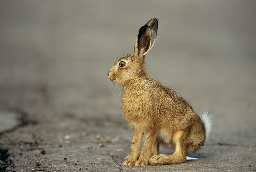 Stock Photo: 4279-46301 lepus Europaeus, European hare