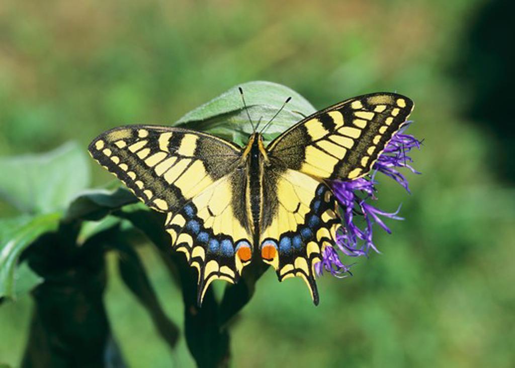 papilio machaon, swallowtail : Stock Photo