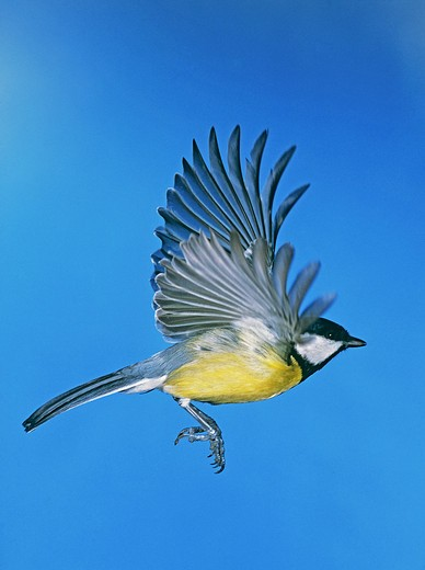 parus major, flying great tit : Stock Photo