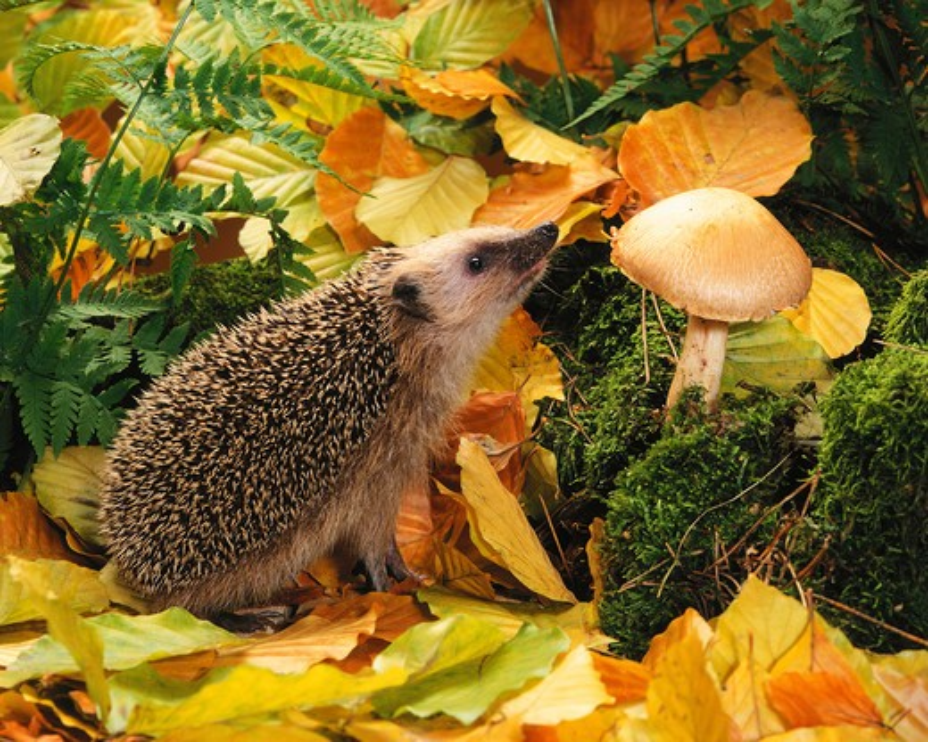 Stock Photo: 4279-4653 hedgehog, Erinaceidae