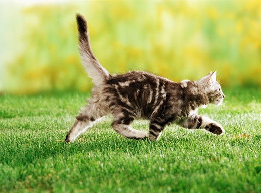 British shorthair kitten is running on a meadow : Stock Photo