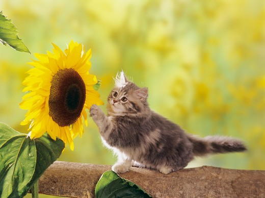 Stock Photo: 4279-46700 kitten with flower