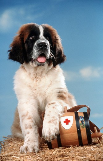 St.Bernhard cub : Stock Photo