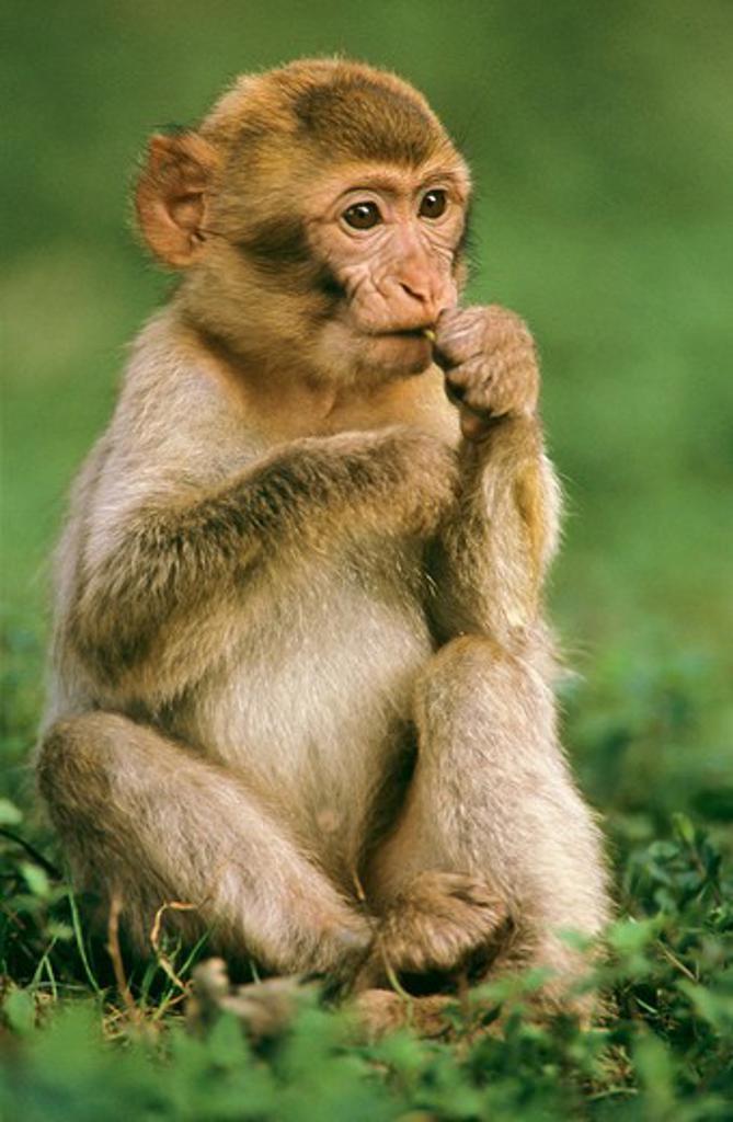 Stock Photo: 4279-46904 macaca sylvanus, barbary ape cub