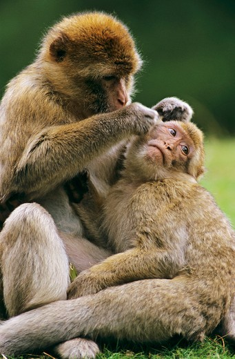 macaca sylvanus, barbary ape cub : Stock Photo
