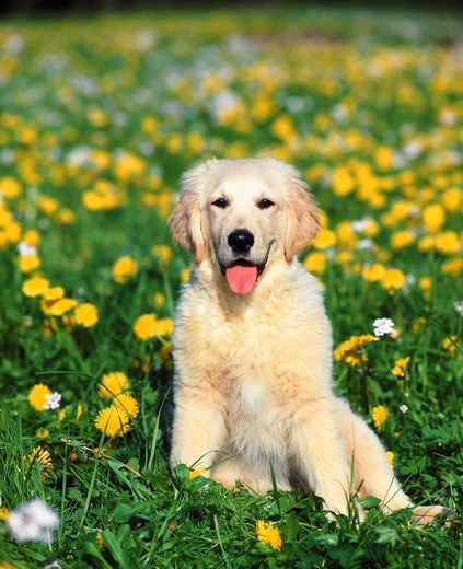 Stock Photo: 4279-4699 puppy sitting on meadow