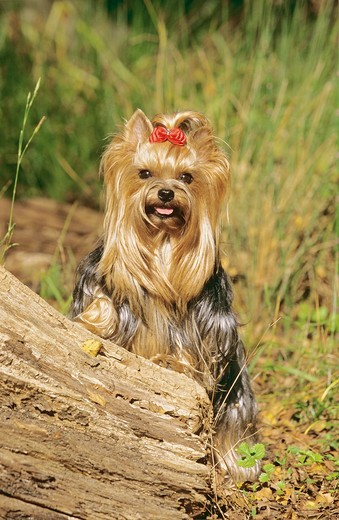 Stock Photo: 4279-47183 Yorkshire Terrier
