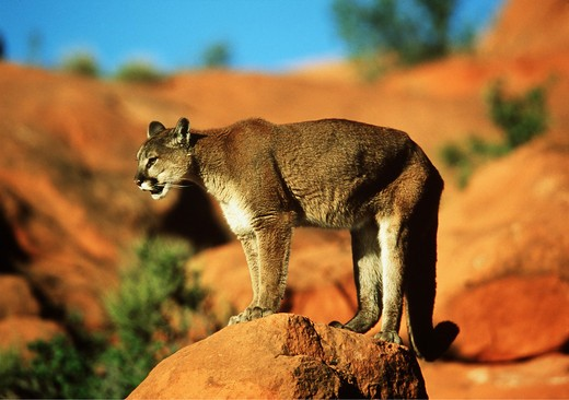 felis concolor, cougar on rocket : Stock Photo