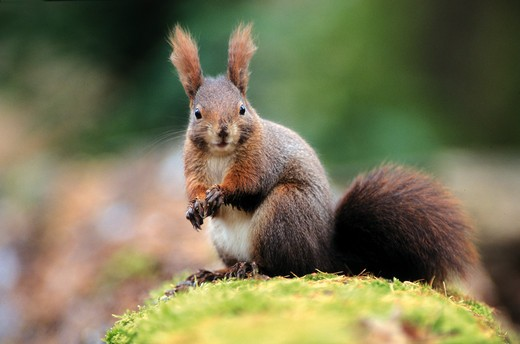 Stock Photo: 4279-4734 European red squirrel, Eurasian red squirrel, sciurus vulgaris