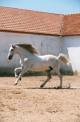 white horse : Stock Photo