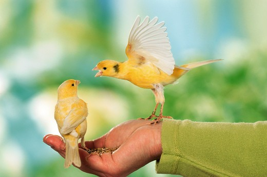 Stock Photo: 4279-5049 two canaries take food from hand, Serinus canaria