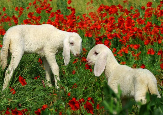 Stock Photo: 4279-5086 two lambs on meadow with poppies, Ovis Aries