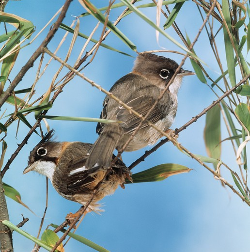 Stock Photo: 4279-5106 Yellow naped yuhina - couple, Yuhina flavicollis