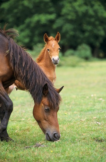 Stock Photo: 4279-5169 mare with foal